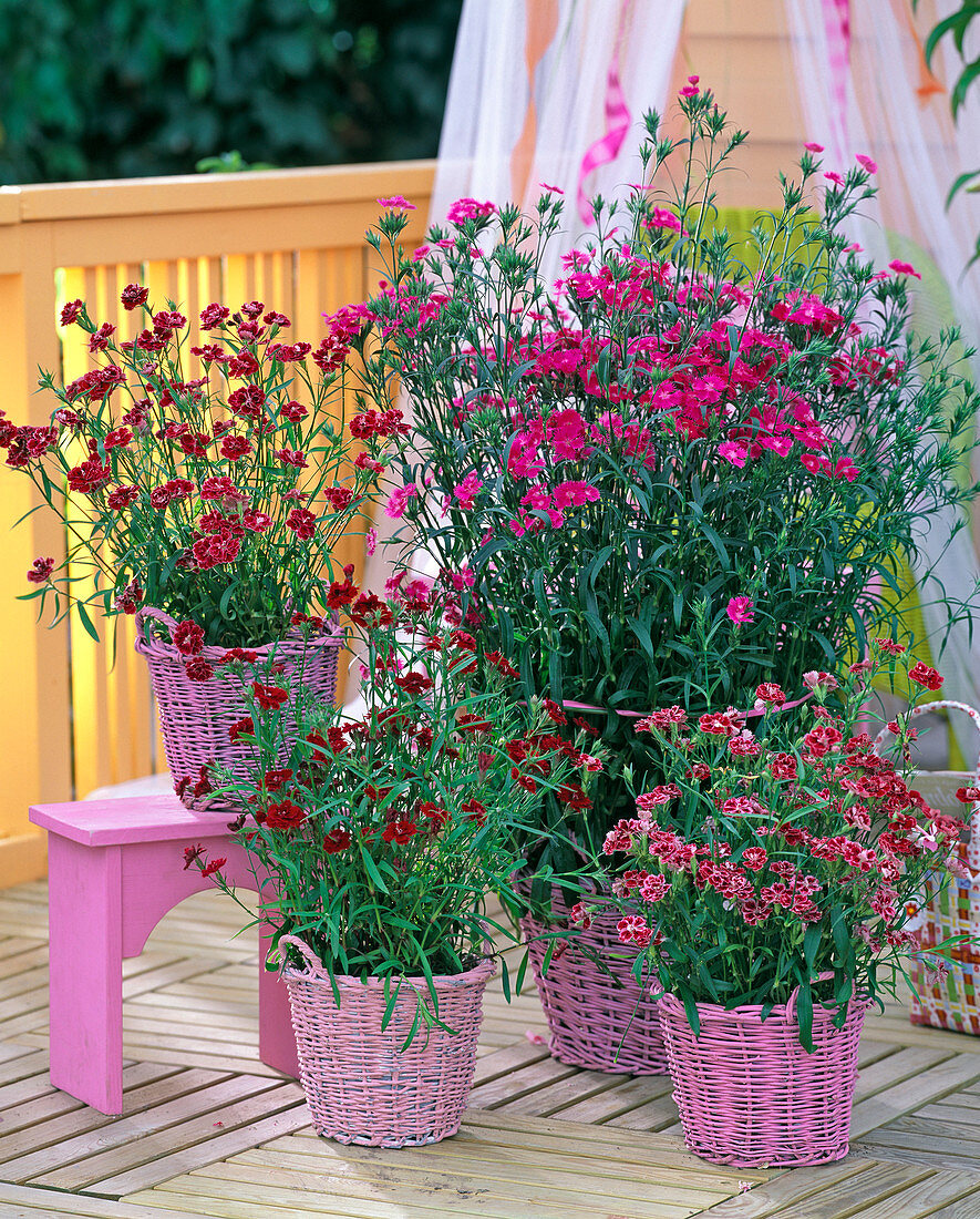 Dianthus chinensis (cloves)