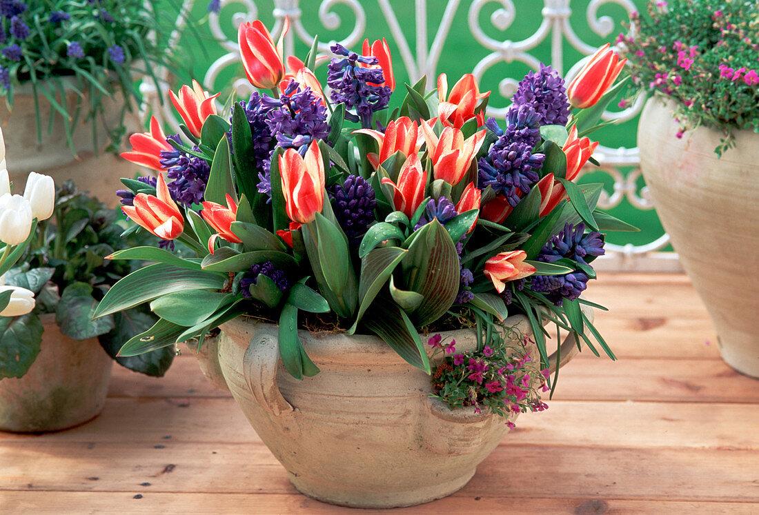 Tulip greigii hybrid 'Zaar Peter', Hyacinthus orientalis