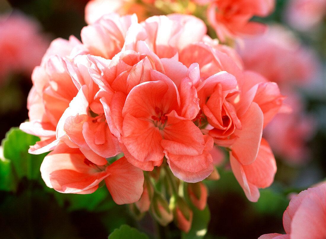 Pelargonium zonal 'Rosario' (Standing Geranium)