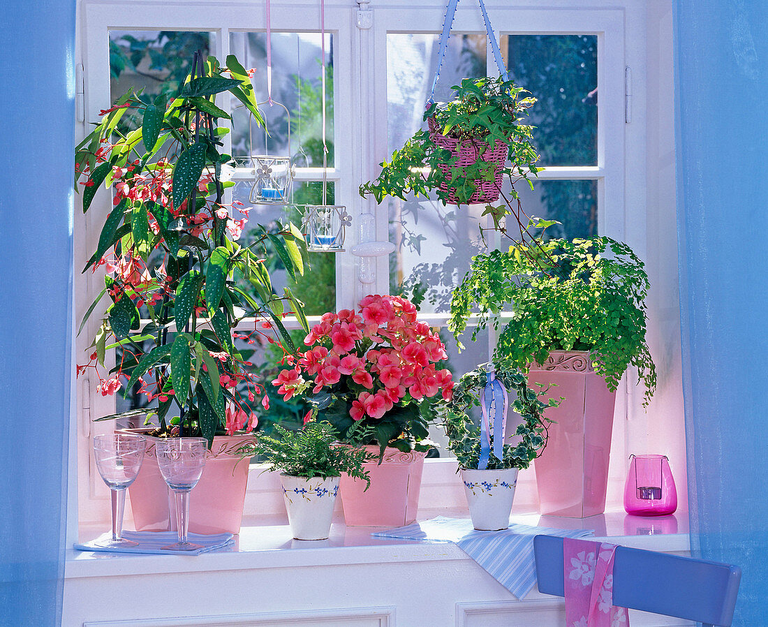 Begonia 'Tamaya' (Begonia begonia), Begonia elatior