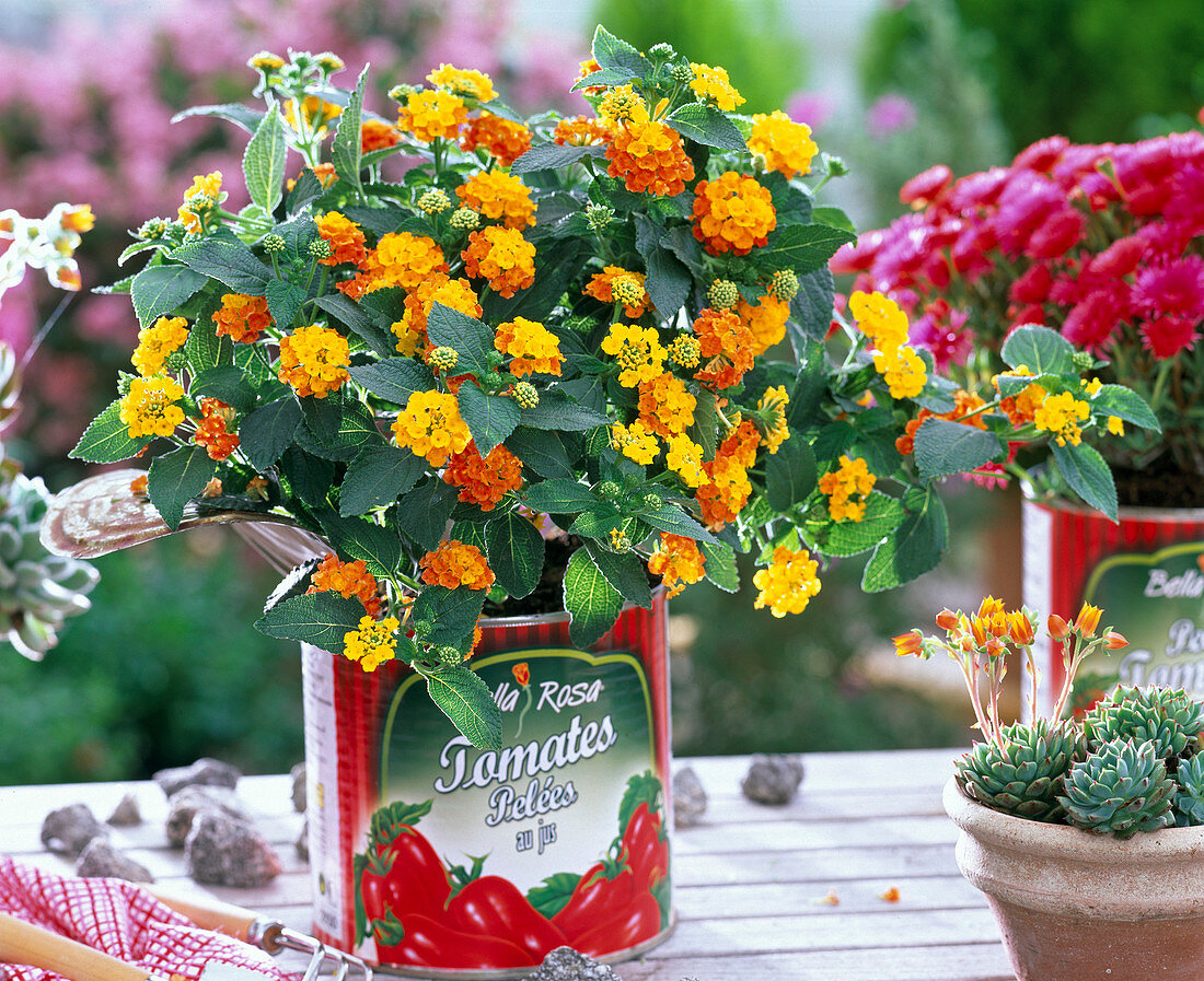 Lantana (west Indian lantana) in tomato can