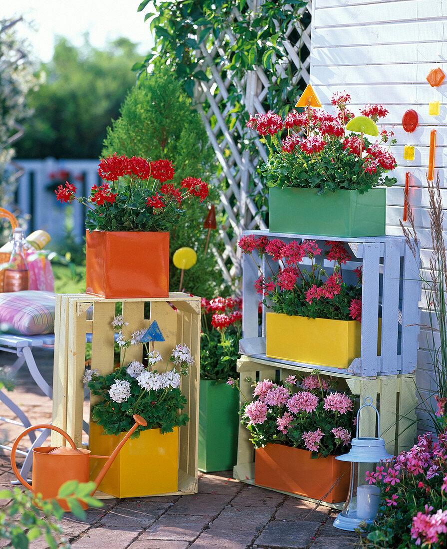 Stellar geraniums, painted fruit boxes