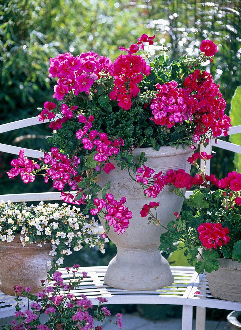 Pelargonium 'Lollipop', Flower Fairy 'Berry', 'Violet'