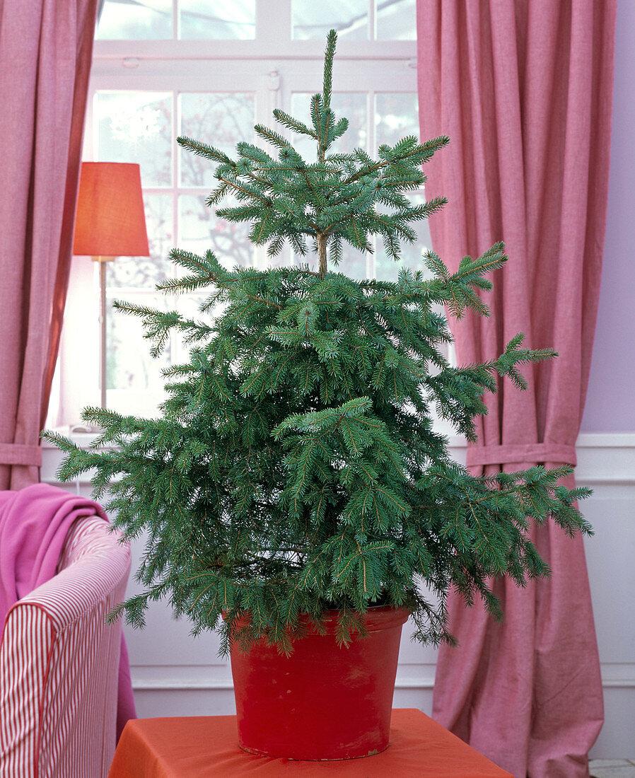 Picea omorika as Christmas tree, unadorned