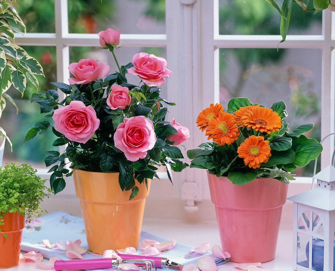 Pink (pot rose), orange gerbera on the window, petals