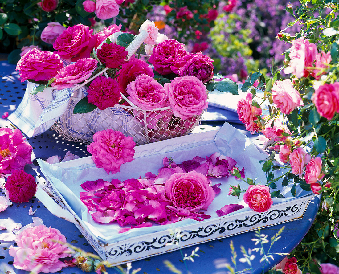 Freshly picked pink in basket, tray with rose petals
