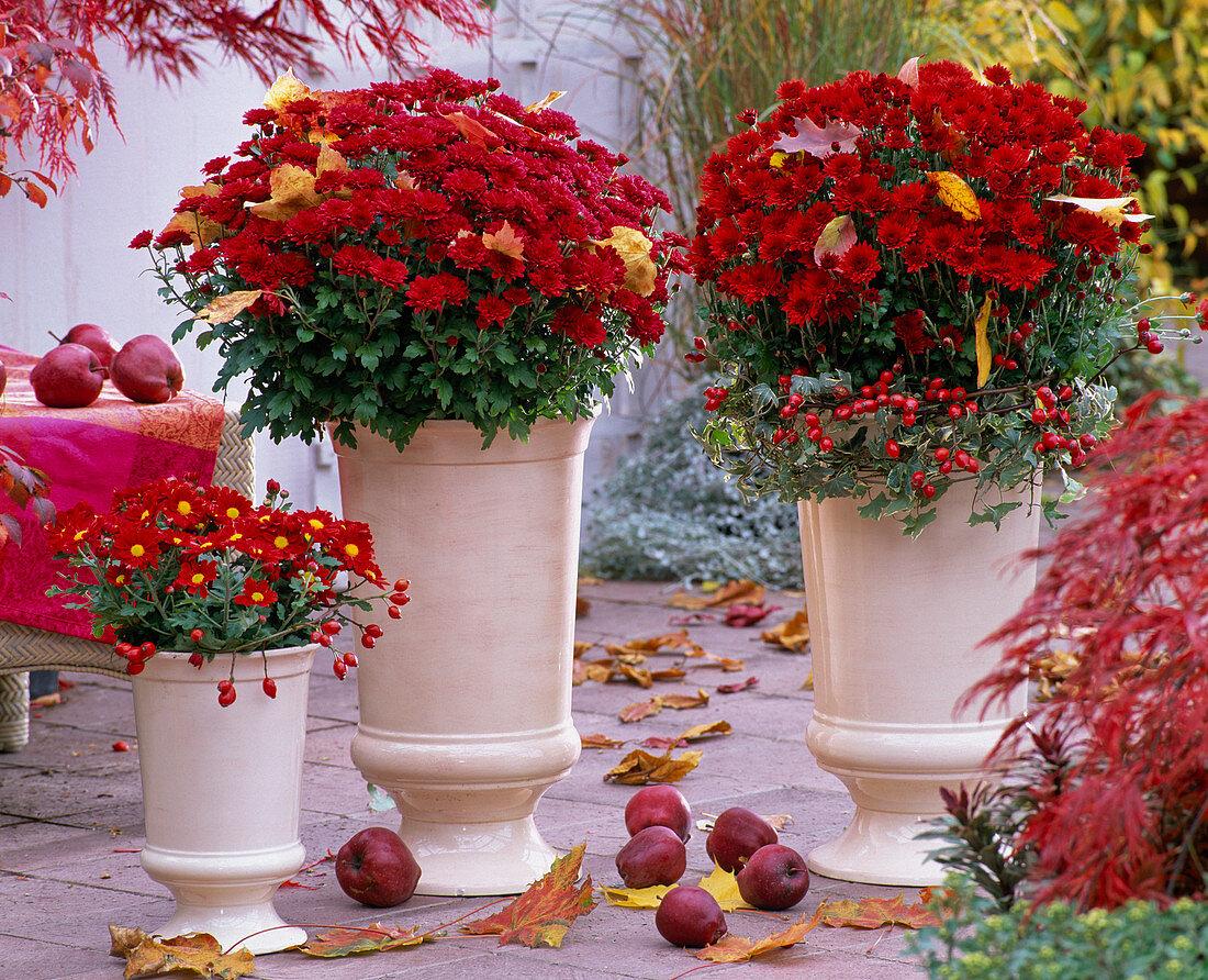 Chrysanthemum Yahou 'Titane', 'Red Irvine' (Autumn Chrysanthemum)