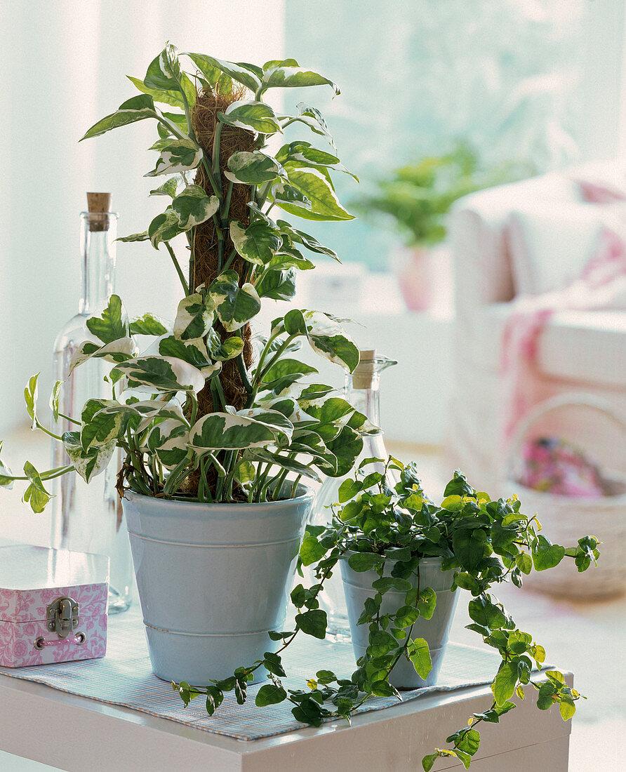 Epipremnum 'Enjoy' (pothos), Ficus pumila (climbing fig)