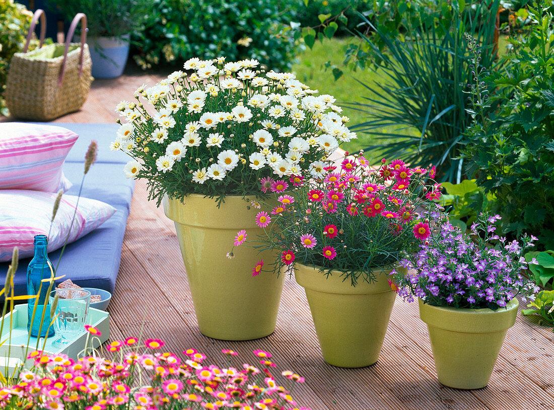 Argyranthemum 'Cream', 'Bright Carmine'