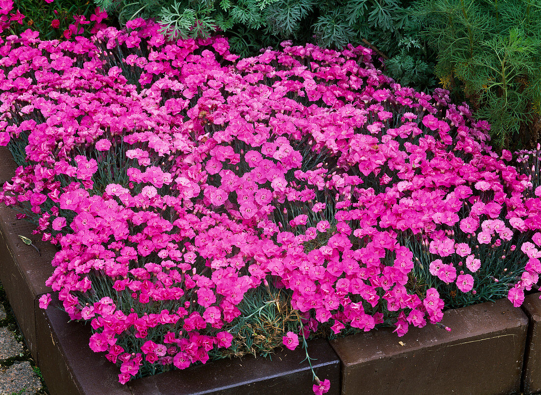 Dianthus caesius (Peonies)
