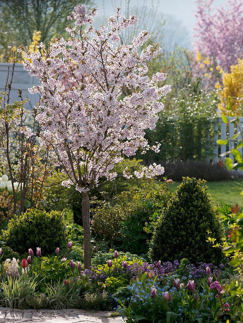 Spring bed Prunus incisa 'Kojo-no-mai'