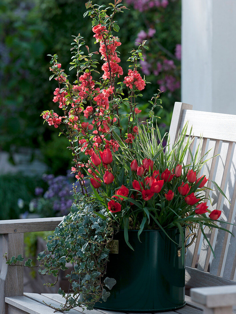 Chaenomeles japonica (ornamental quince), Tulipa linifolia (wild tulips)
