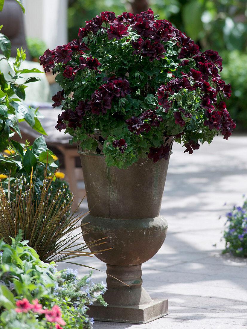 Pelargonium grandiflorum Aristo 'Schoko' in tall metal vase