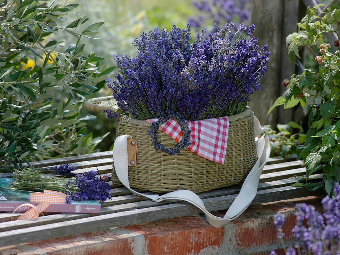 Freshly harvested lavandula (lavender) in picnic basket