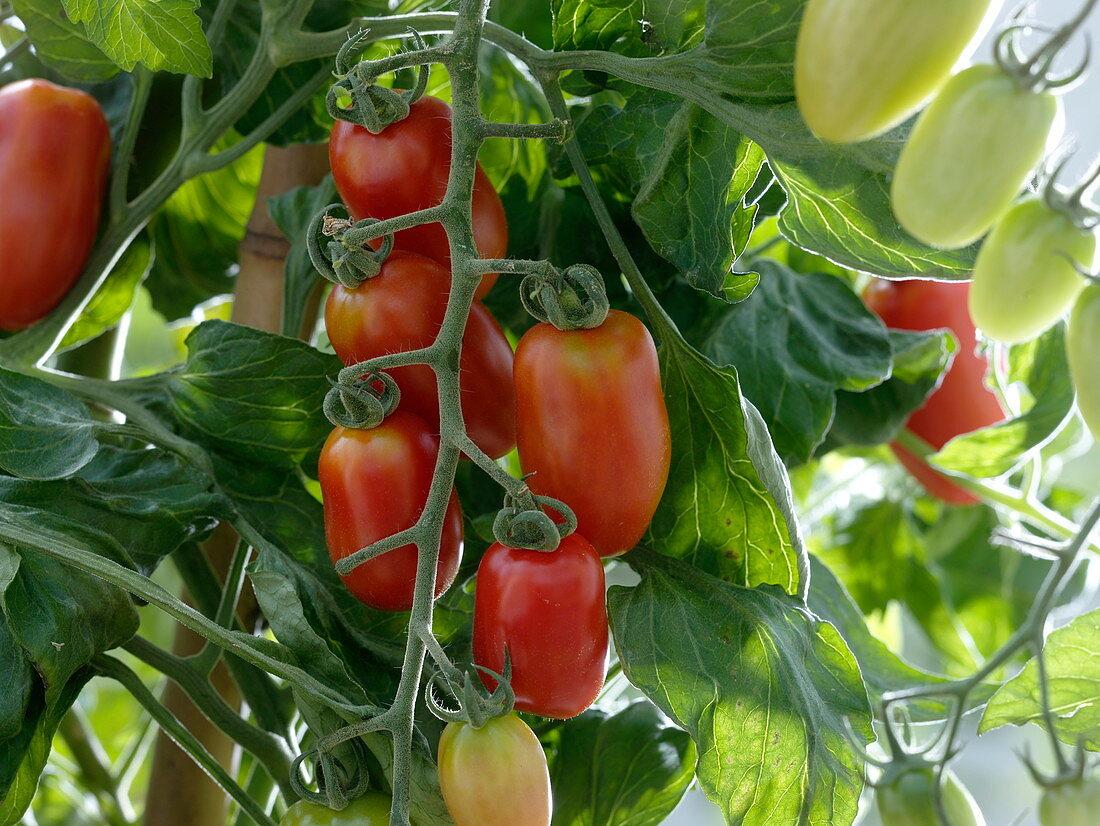 Lycopersicon 'Caprese' syn. 'Mini-San Marzano' (längliche Mini - Tomaten)