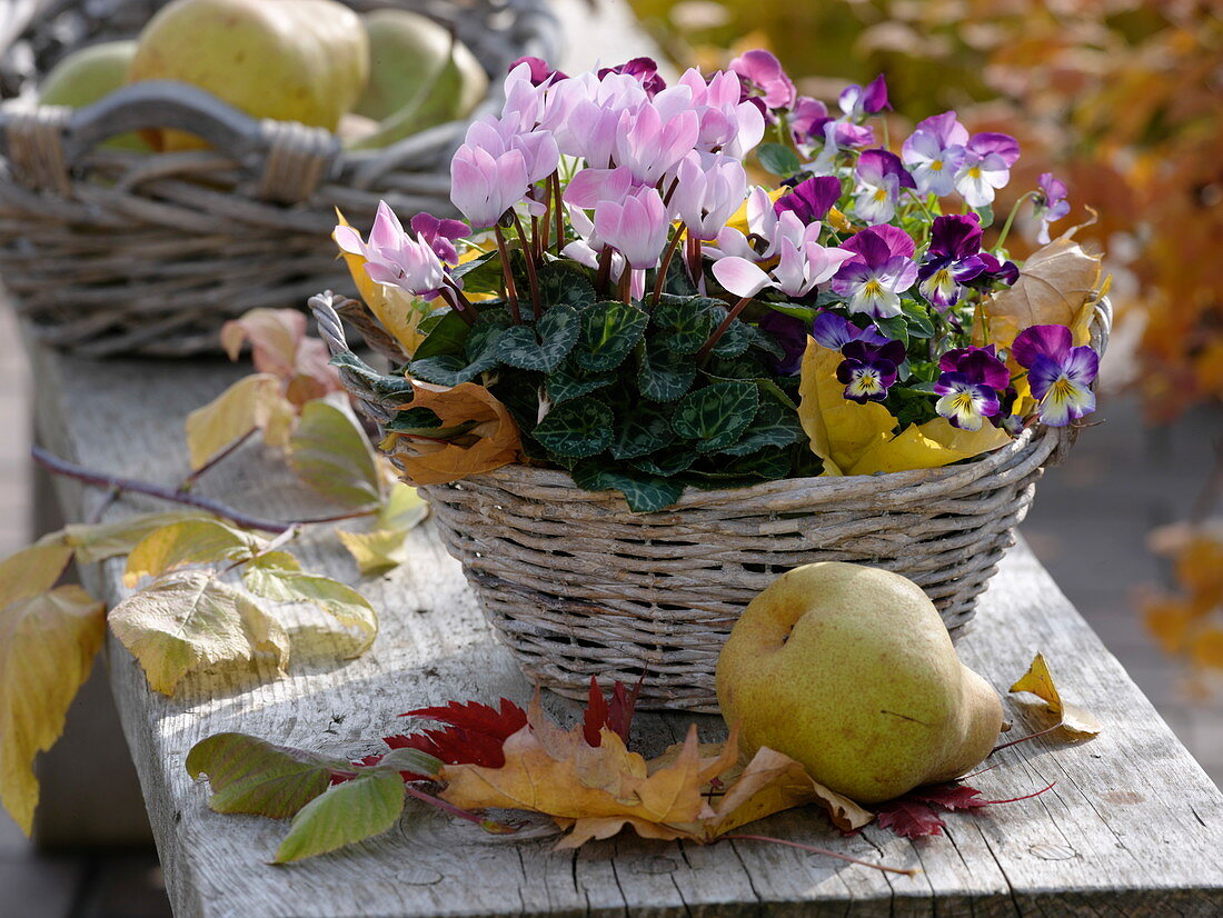 Basket with Cyclamen, Viola cornuta Callisto