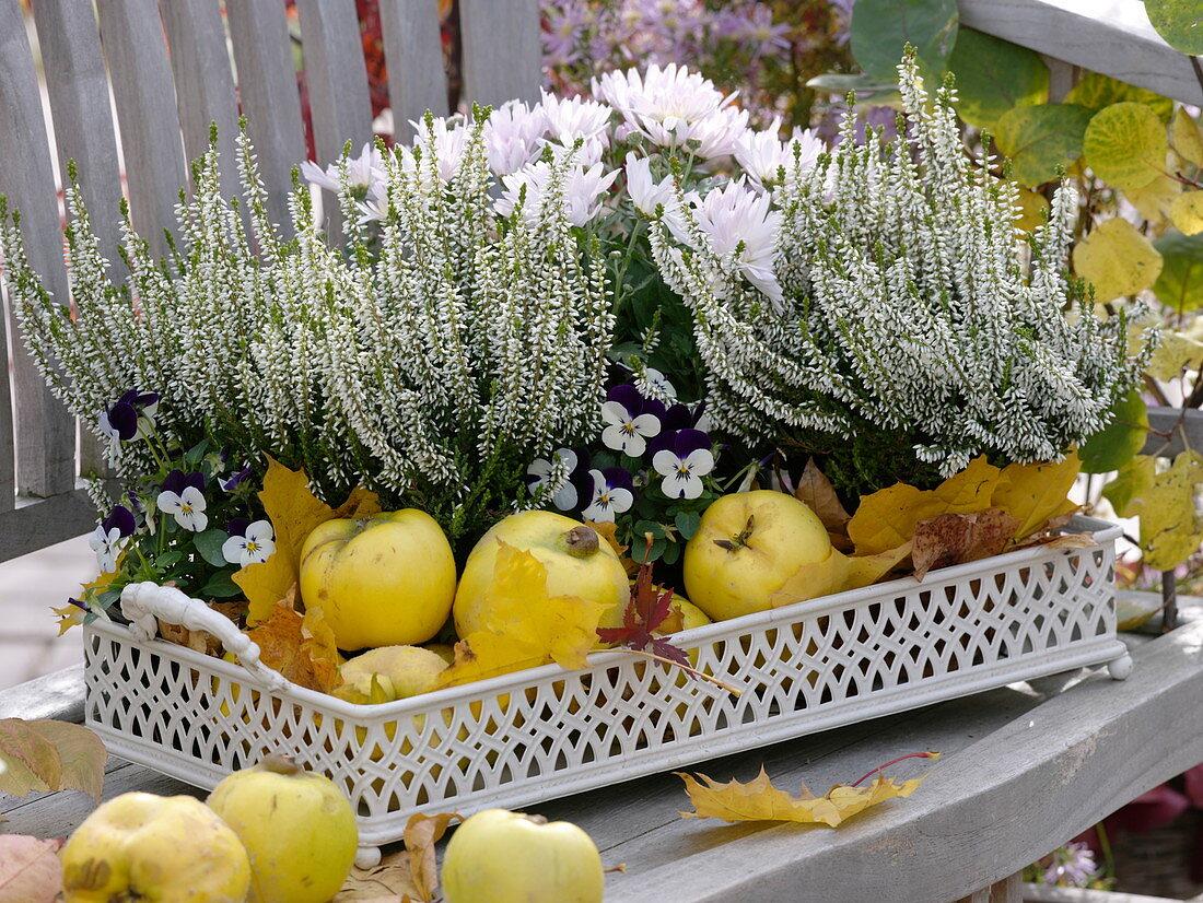 Calluna Garden Girls 'Alicia' (Blossoming Broom Heath), Chrysanthemum