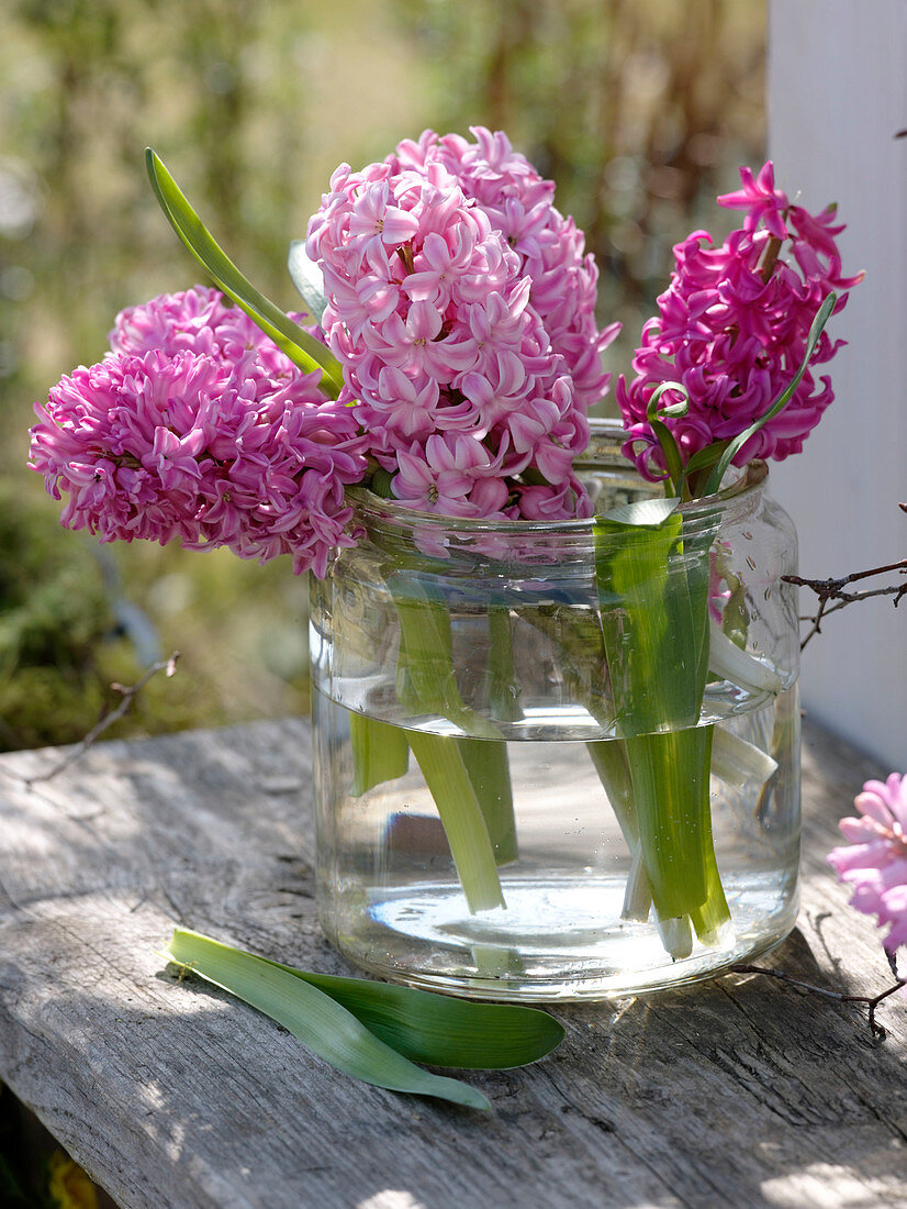 Hyacinthus 'Pink Pearl', 'Anna Marie' in wide glass