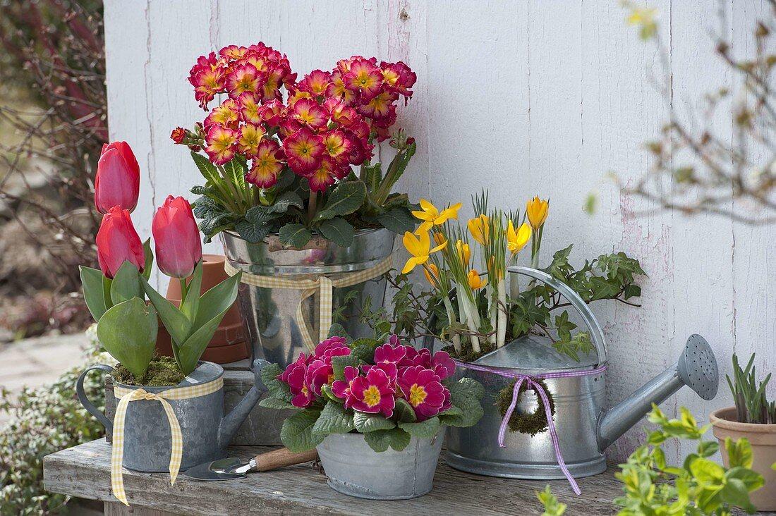 Tulipa 'Couleur Cardinal', Primula elatior 'Inara Fire F1'