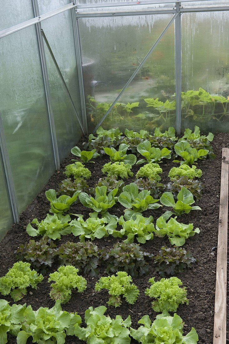 Greenhouse with various salads (Lactuca)