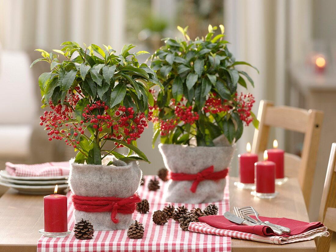 Ardisia crenata in pots with felt cover