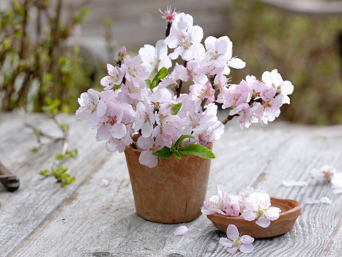 Flowering Prunus dulcis (almond) branches in terracotta vase