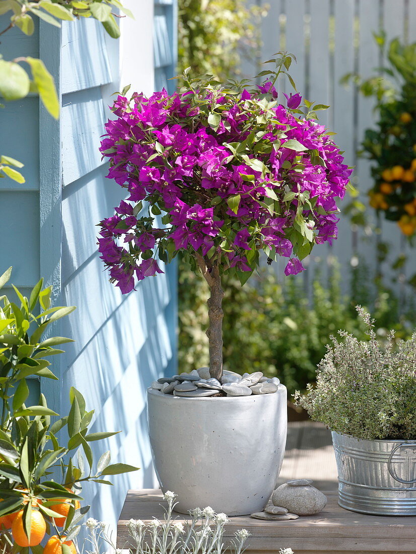Bougainvillea 'Alexandra' in white tub decorated with pebbles