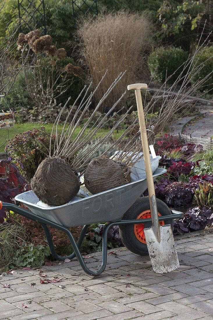 Planting balled shrubs in autumn