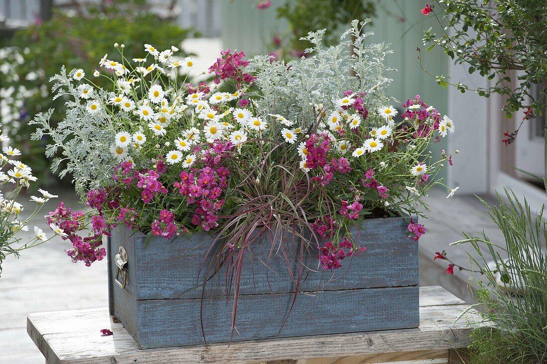 Blue wooden box with Nemesia 'Raspberry', Argyranthemum