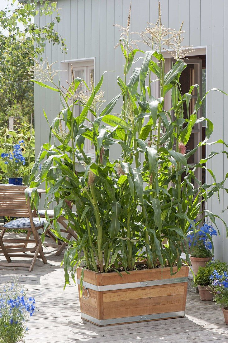 Wooden box with sugar corn 'popcorn' (Zea mays) as a privacy screen