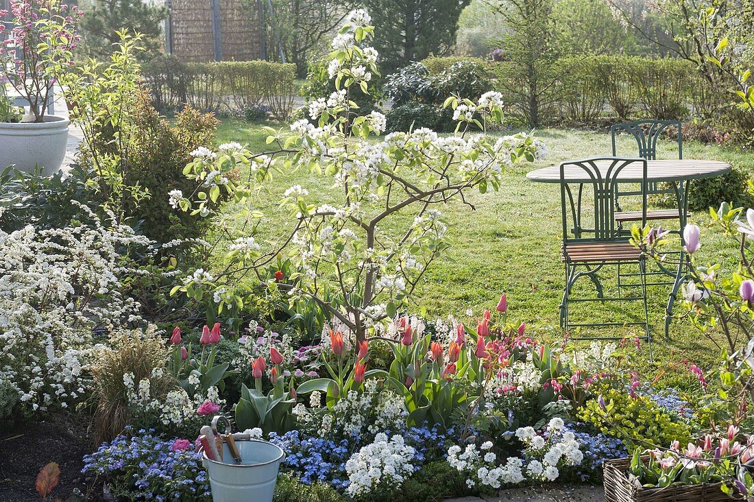 Flowering quince planted with Tulipa, Iberis