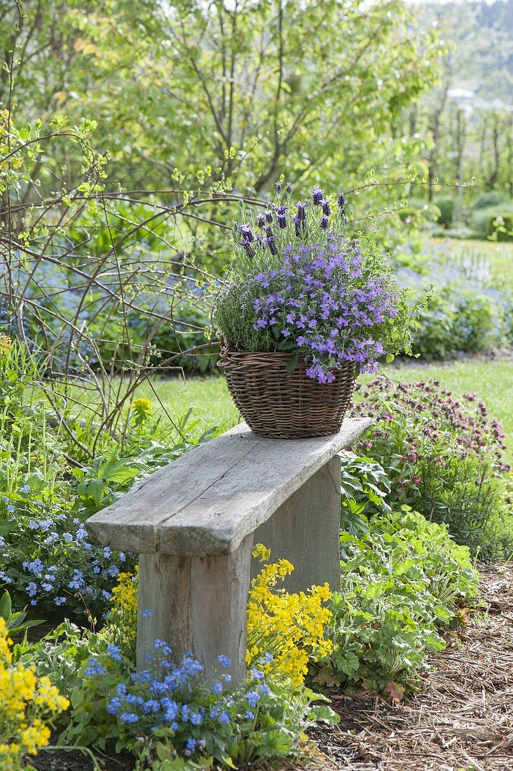 Basket with lobelia, thyme and baby lavender