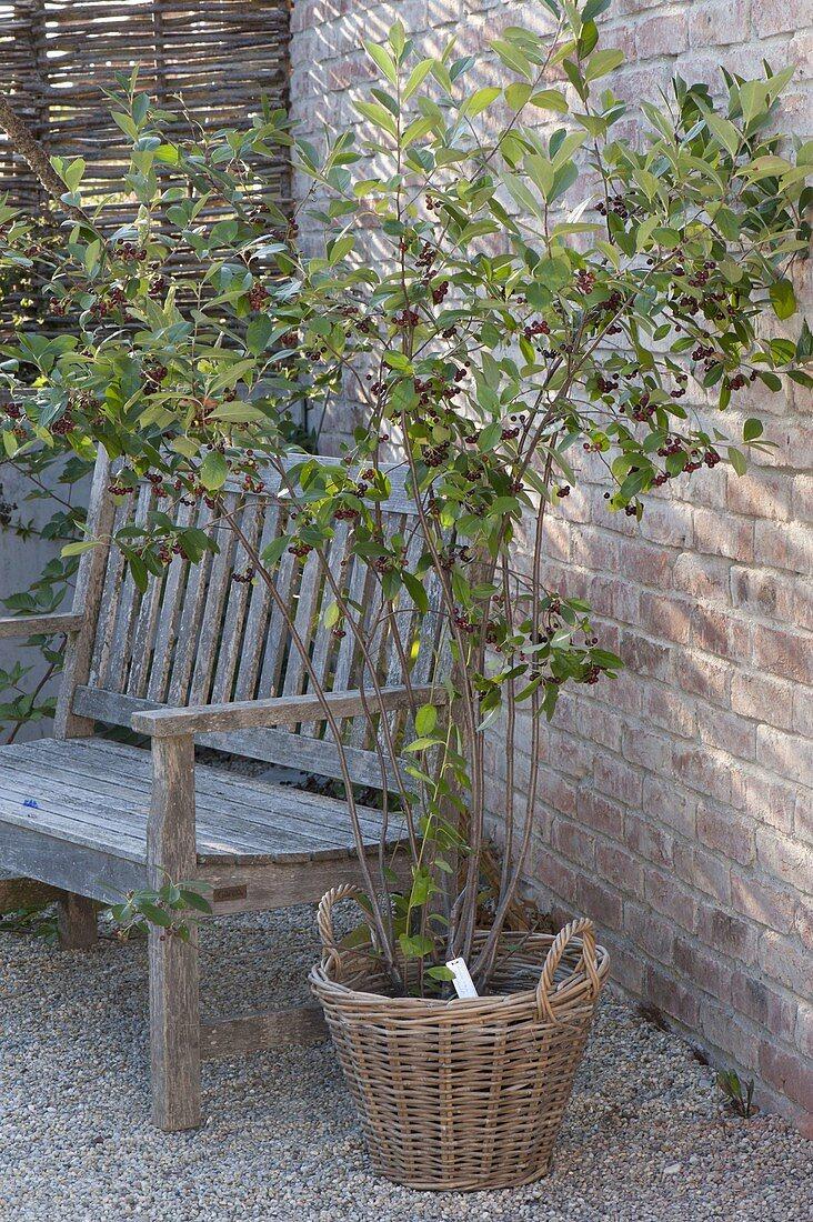 Aronia melanocarpa in basket on gravel terrace, wooden bench