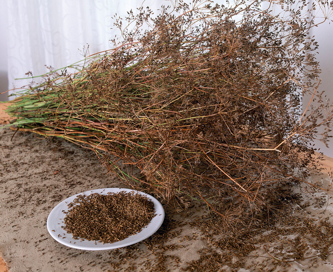 Caraway harvest