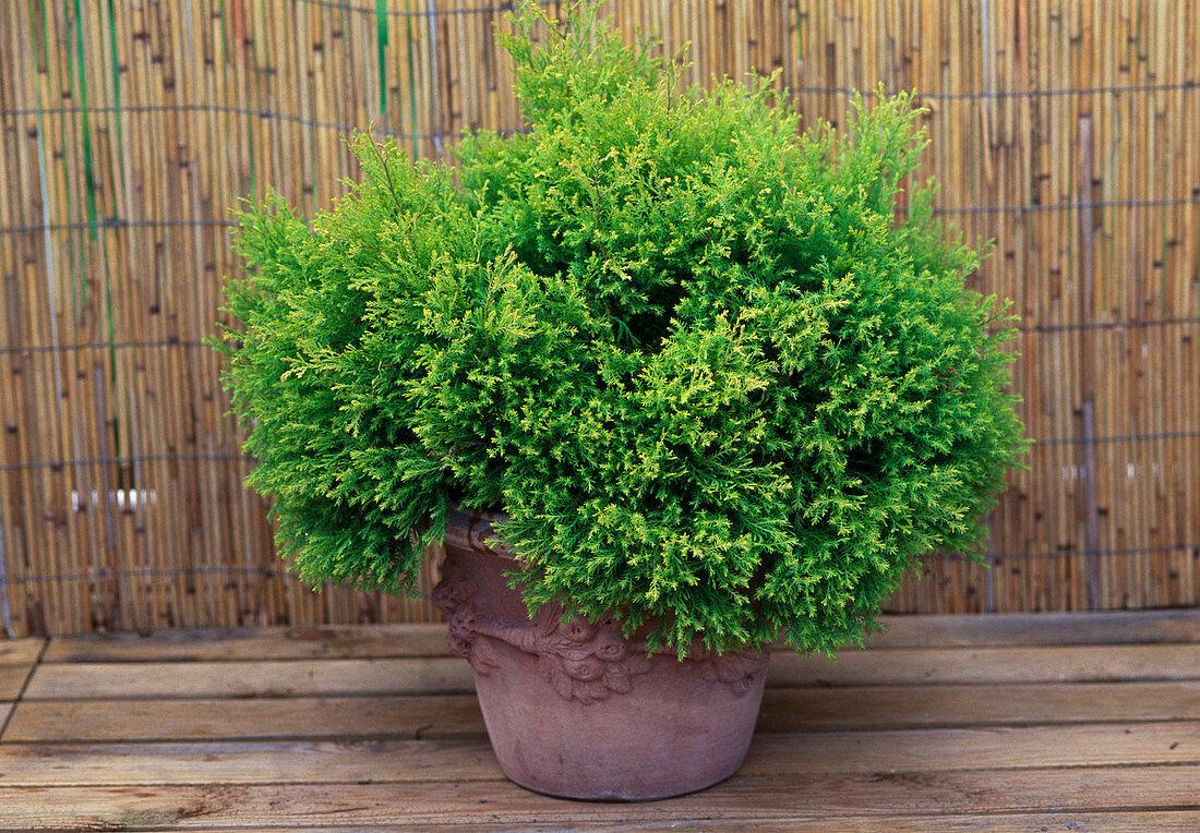 Chamaecyparis pisifera 'plumosa aurea' (Gold Cedar)