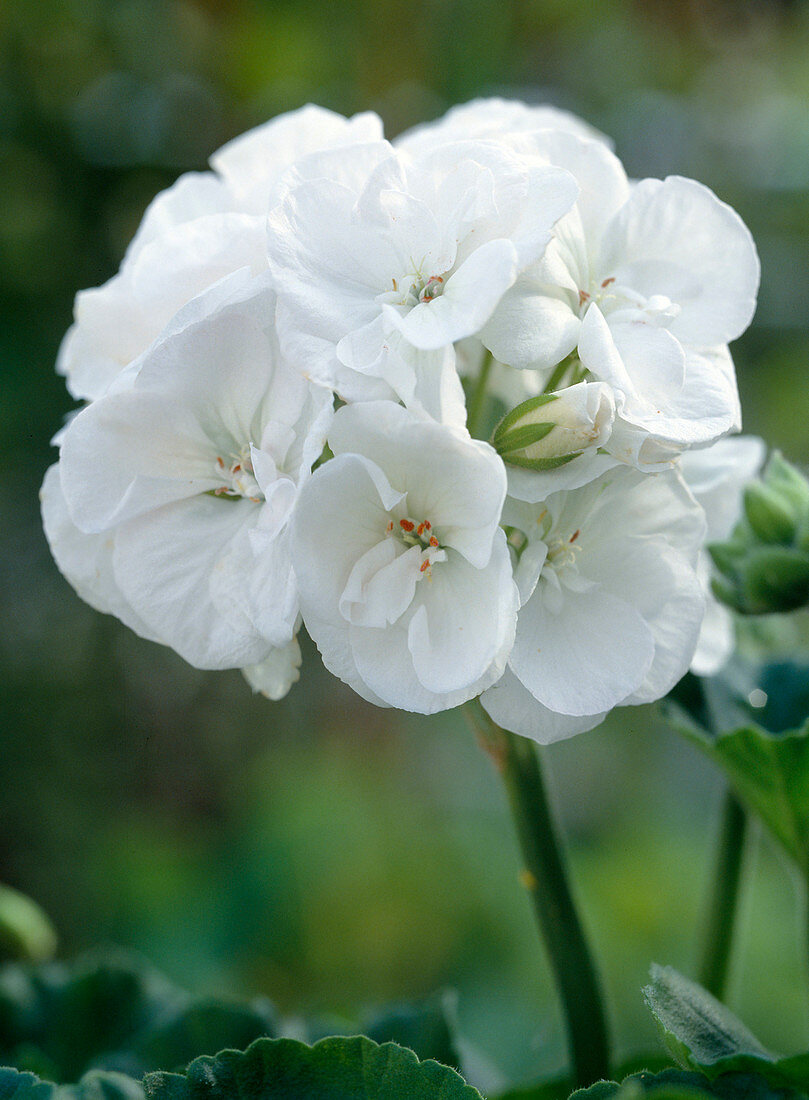 Pelargonium zonal hybrids 'Alba'
