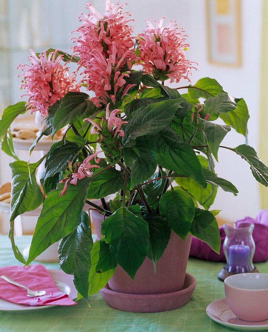 Jacobinia carnea (Jacob's Lily)