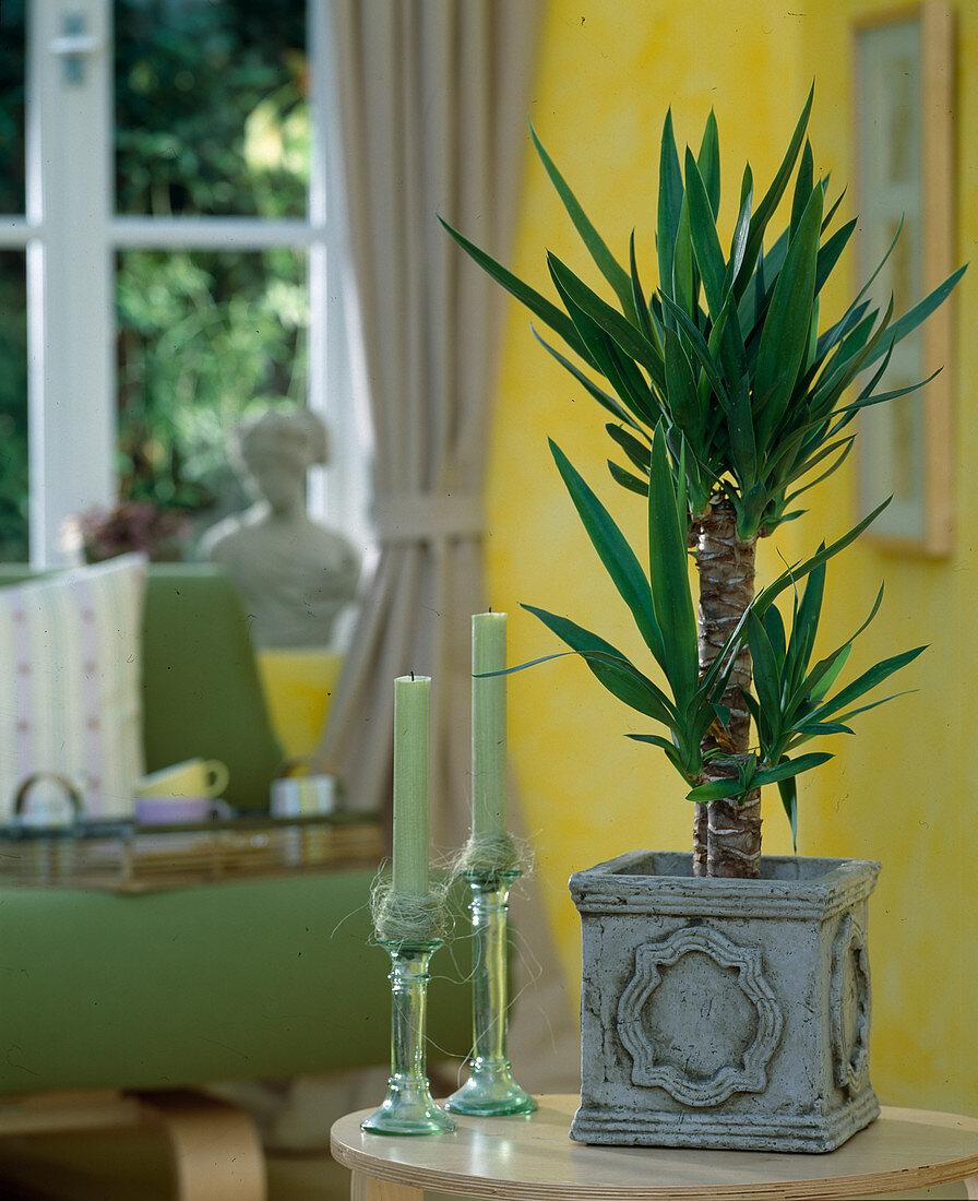 Yucca elephantipes (yucca palm)