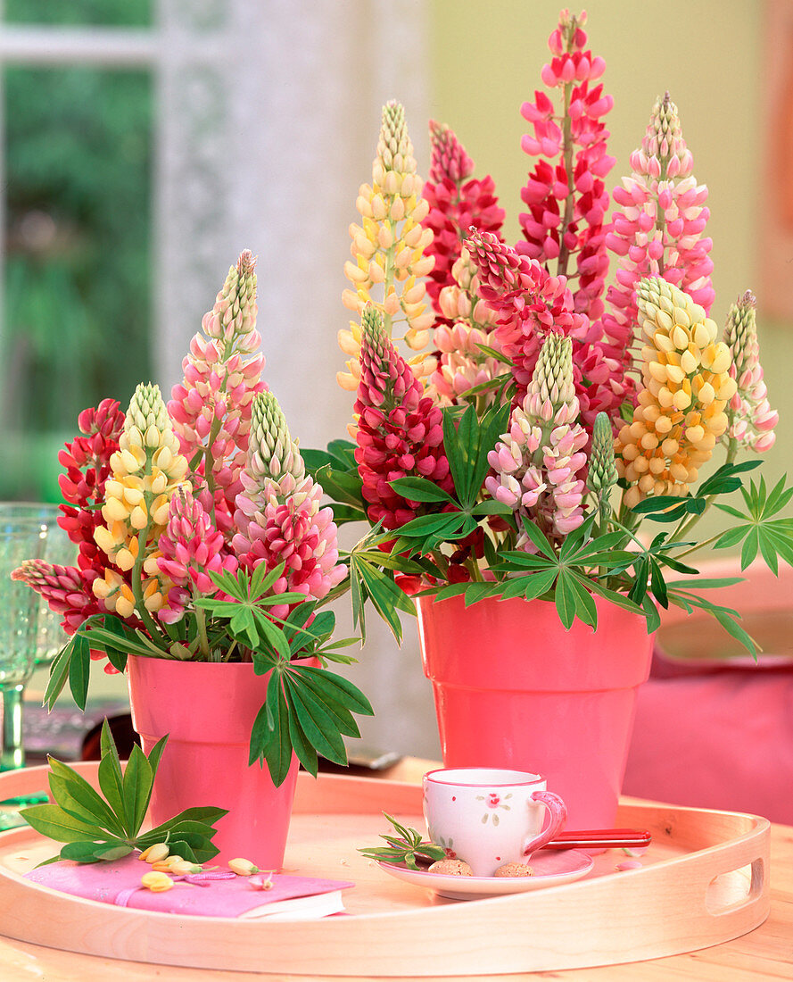 Lupinus polyphyllus 'Camelot' (Lupine) in pink pots