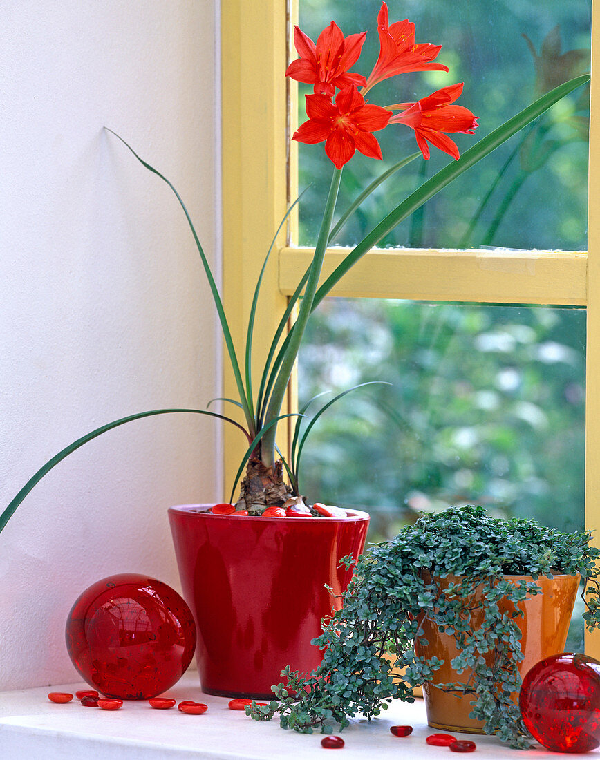Cyrtanthus elatus syn. vallota speziosa (fire lily)