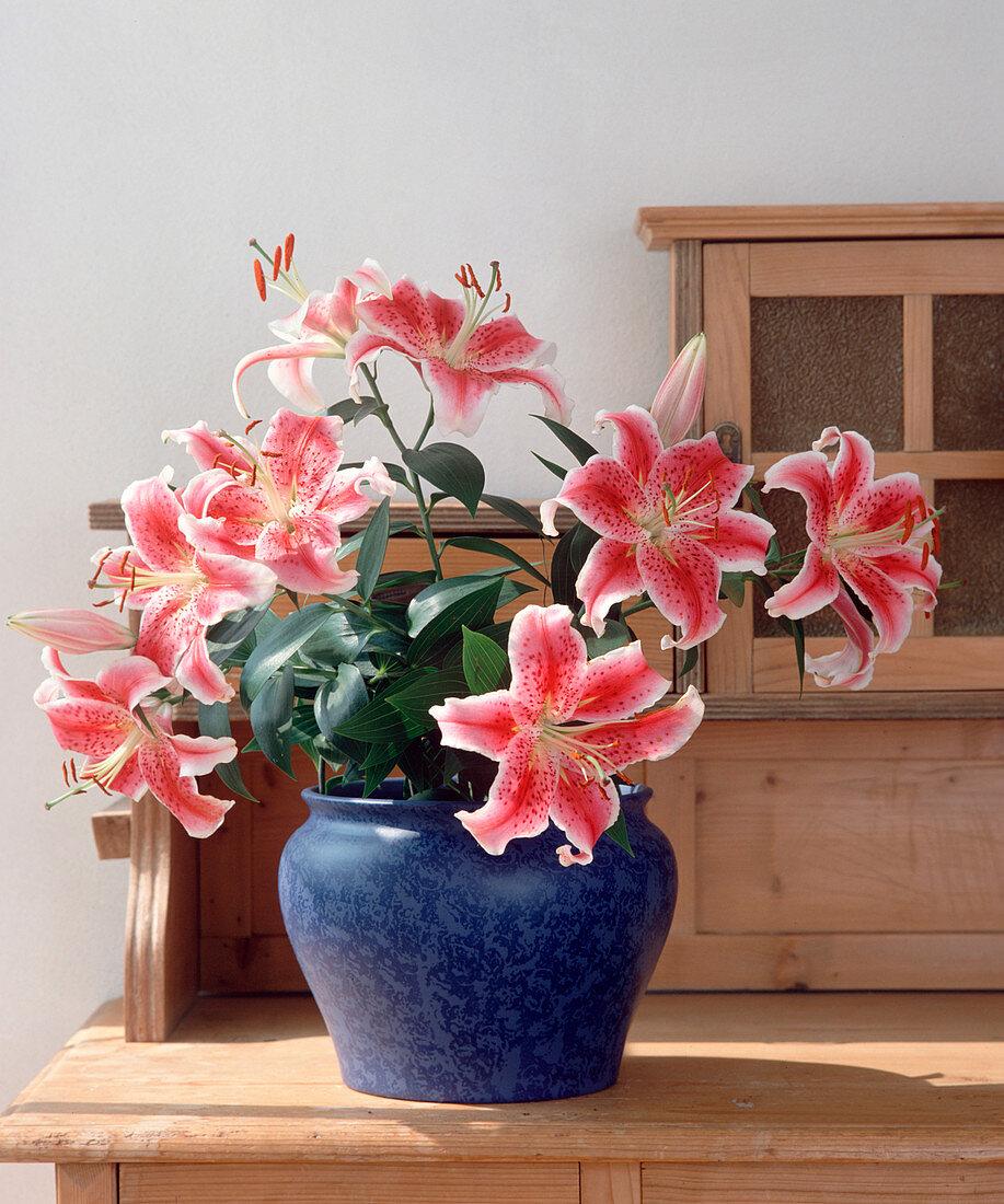 Lilium hybrids