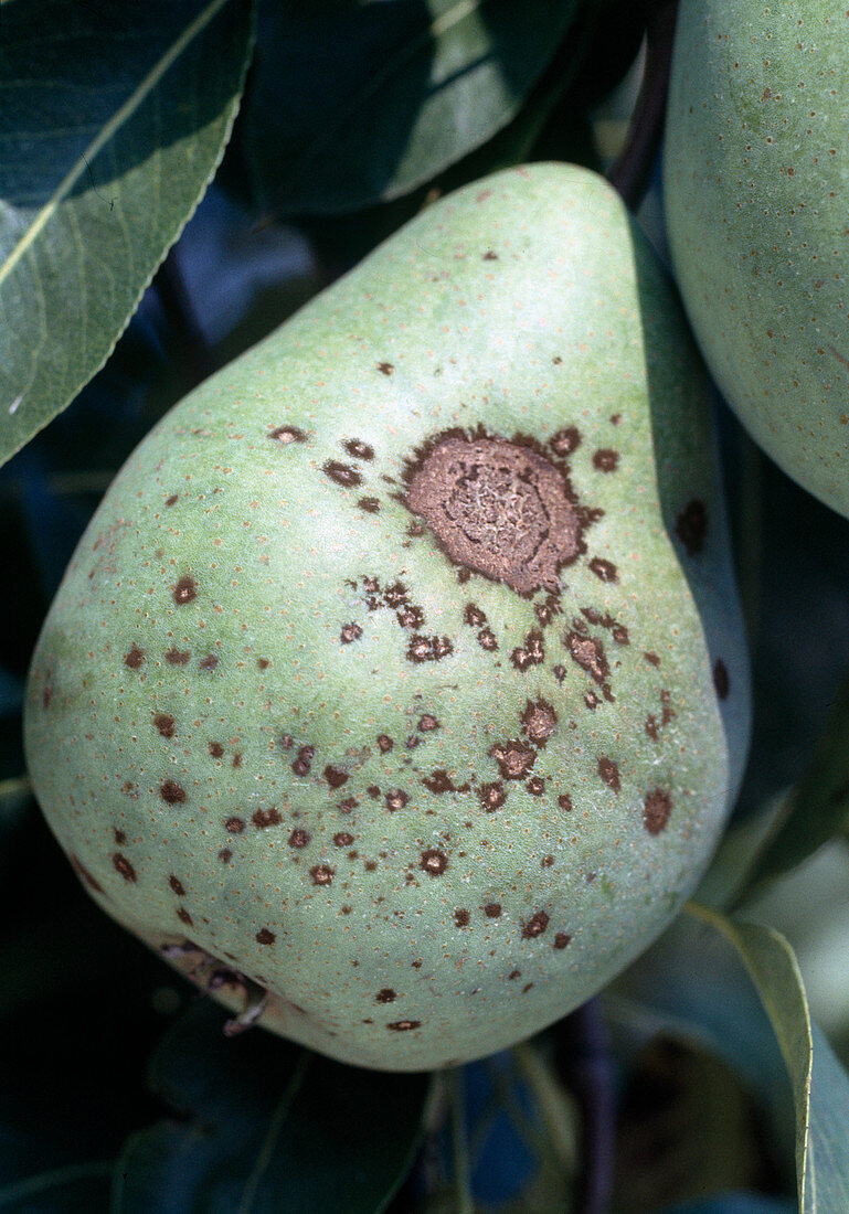 Pear scab at the fruit