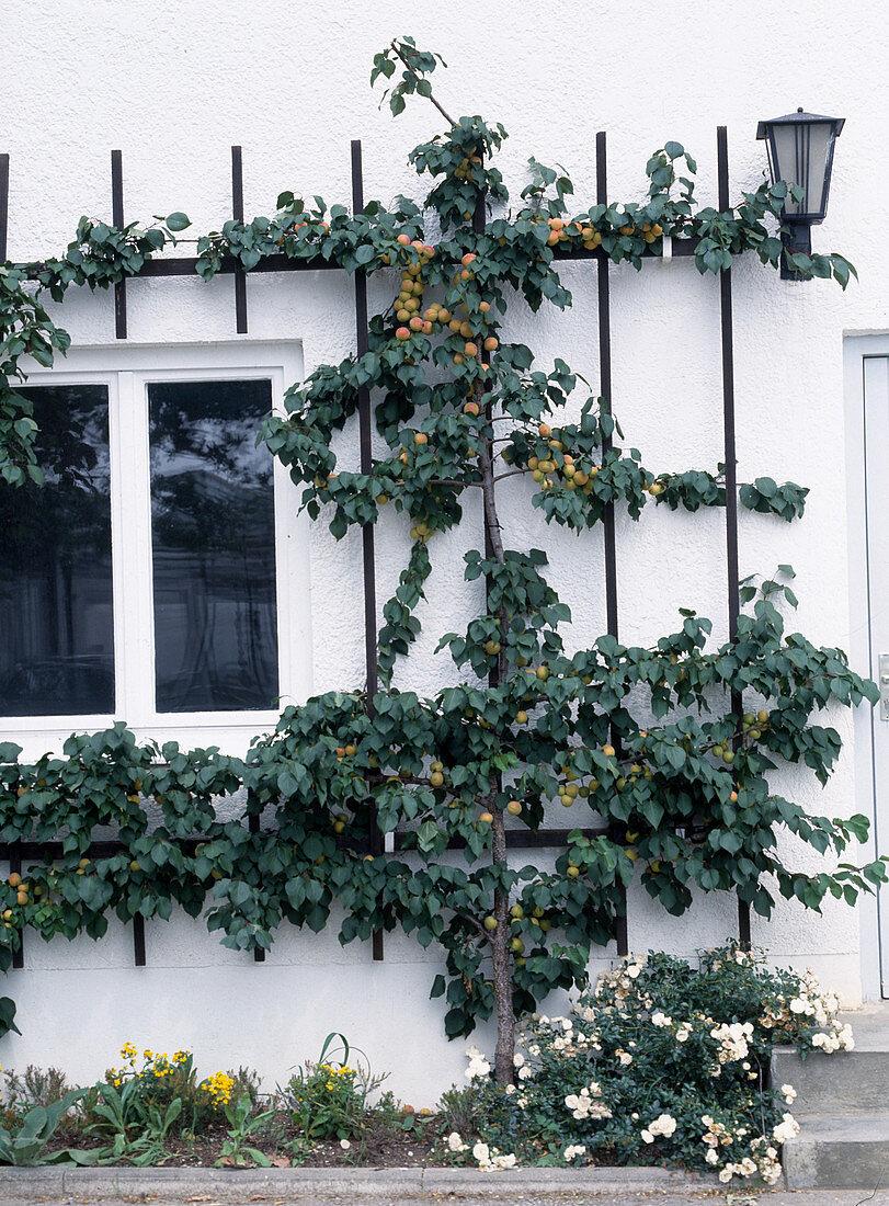 Apricot trellis