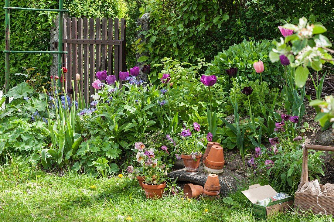Tulips in flowerbed and terracotta pots in garden
