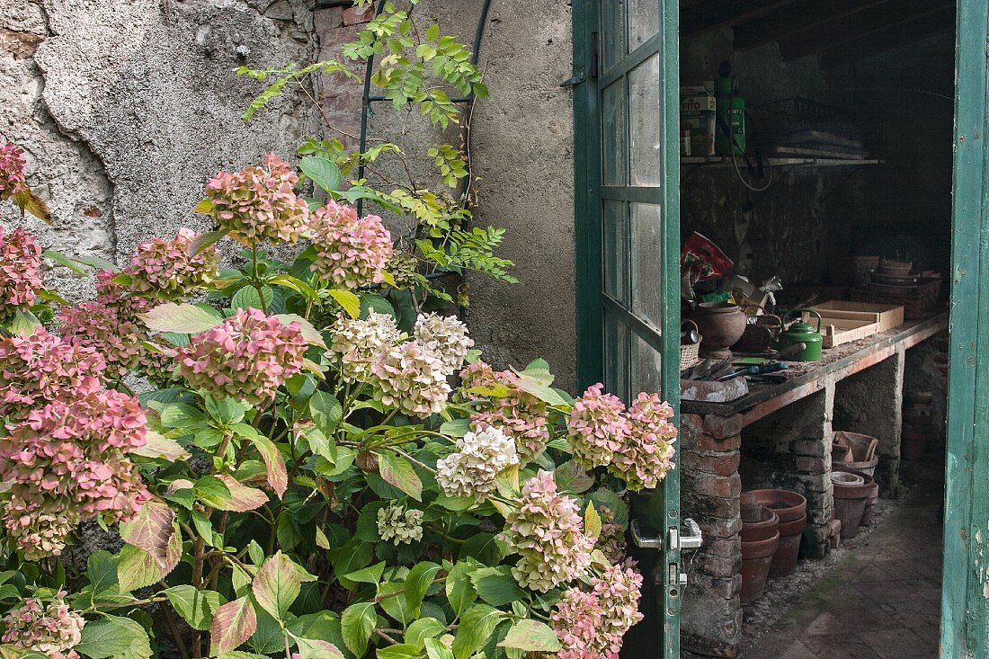 Hydrangeas in front of open shed door with view of potting table