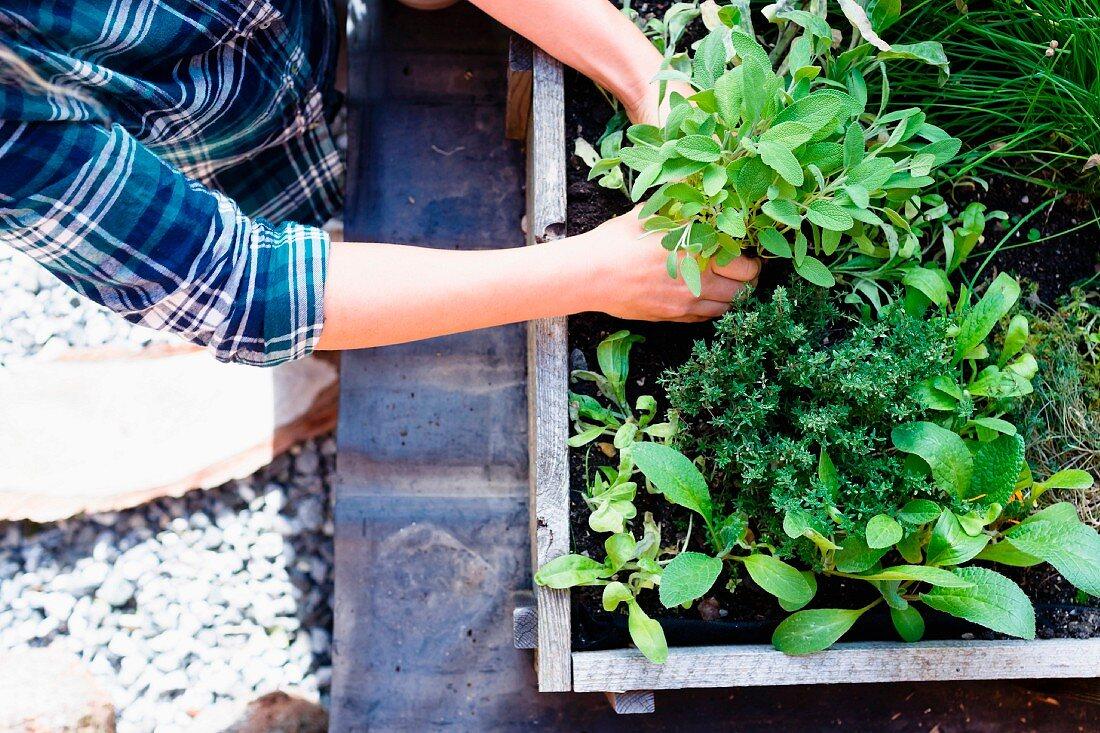 Woman planting herbs in herb garden
