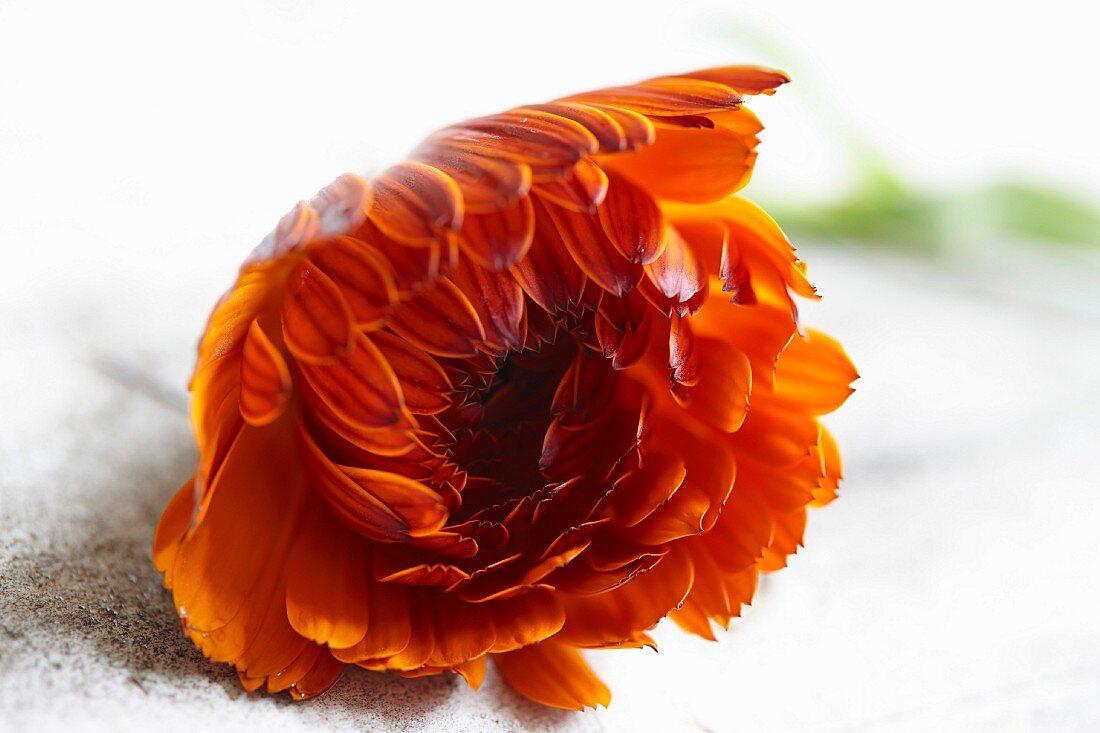 Eine Ringelblumenblüte (Calendula Officinalis)