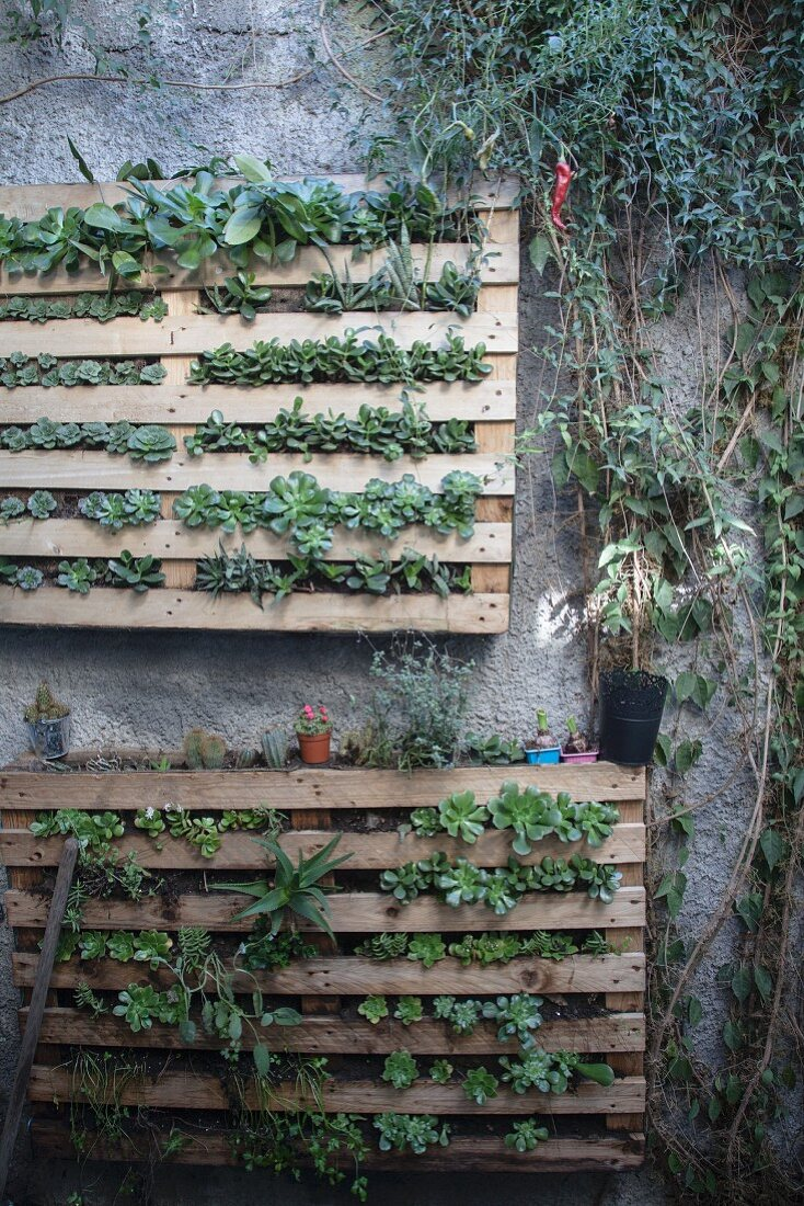Wooden Pallets Planted With Succulents Buy Image 12404361 Living4media