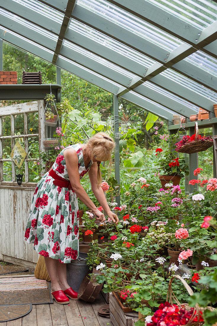 Woman in floral dress tending her pelargoniums in greenhouse