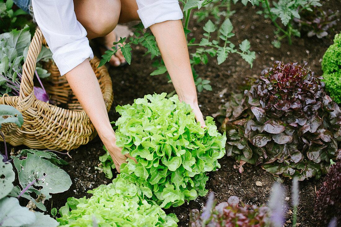 Frau erntet Salat im Garten
